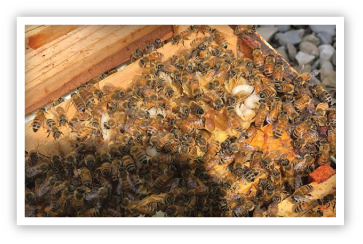 HIgh-Rise-Honey-Hive-Bees